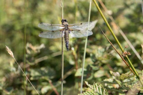 SandyWatt dragonfly small